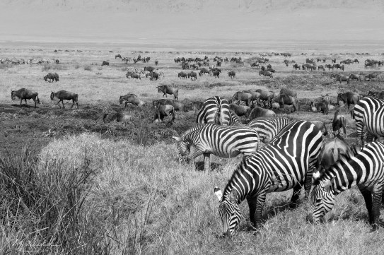 zebras and wildebeests herd at Ngorongoro Tanzania