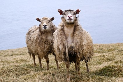 sheep staring at me in Heimaey island: what do you want