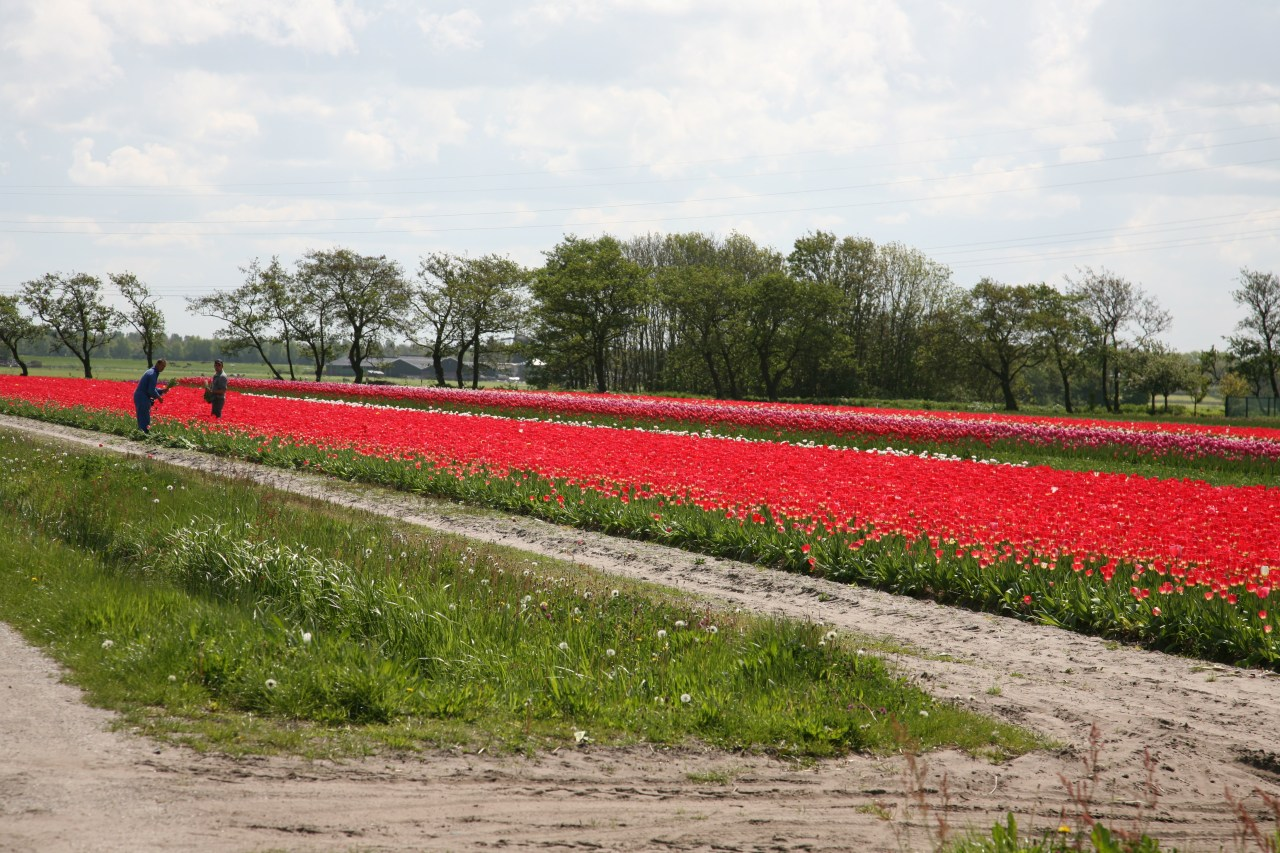 view of a people picking tulips in a tulip field by the road in the Netherlands mid april
