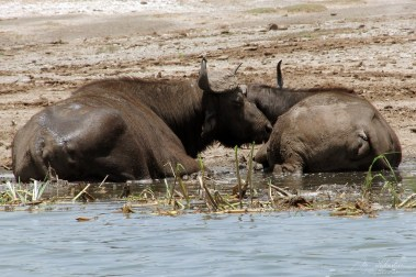 two buffalos sleeping half in the water and half on the ground in the Kazinga channel Queen Elizabeth national park