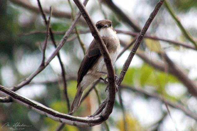 Common Bulbul (Pycnonotus barbatus) in the Kazinga channel in Queen Elizabeth National park bird watching