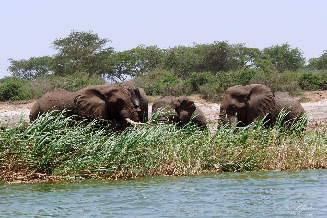 elephants on the side of the Kazinga channel in Queen Elizabeth National park in Uganda Africa