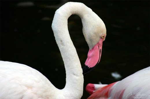 a flamingo in Langkawi at the wildlife park and bird paradise in Malaysia
