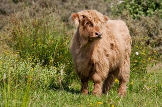 Very cute and fluffy wild baby highland cow coo in the nature reserve of Lenteveugd in the Netherlands where they run free