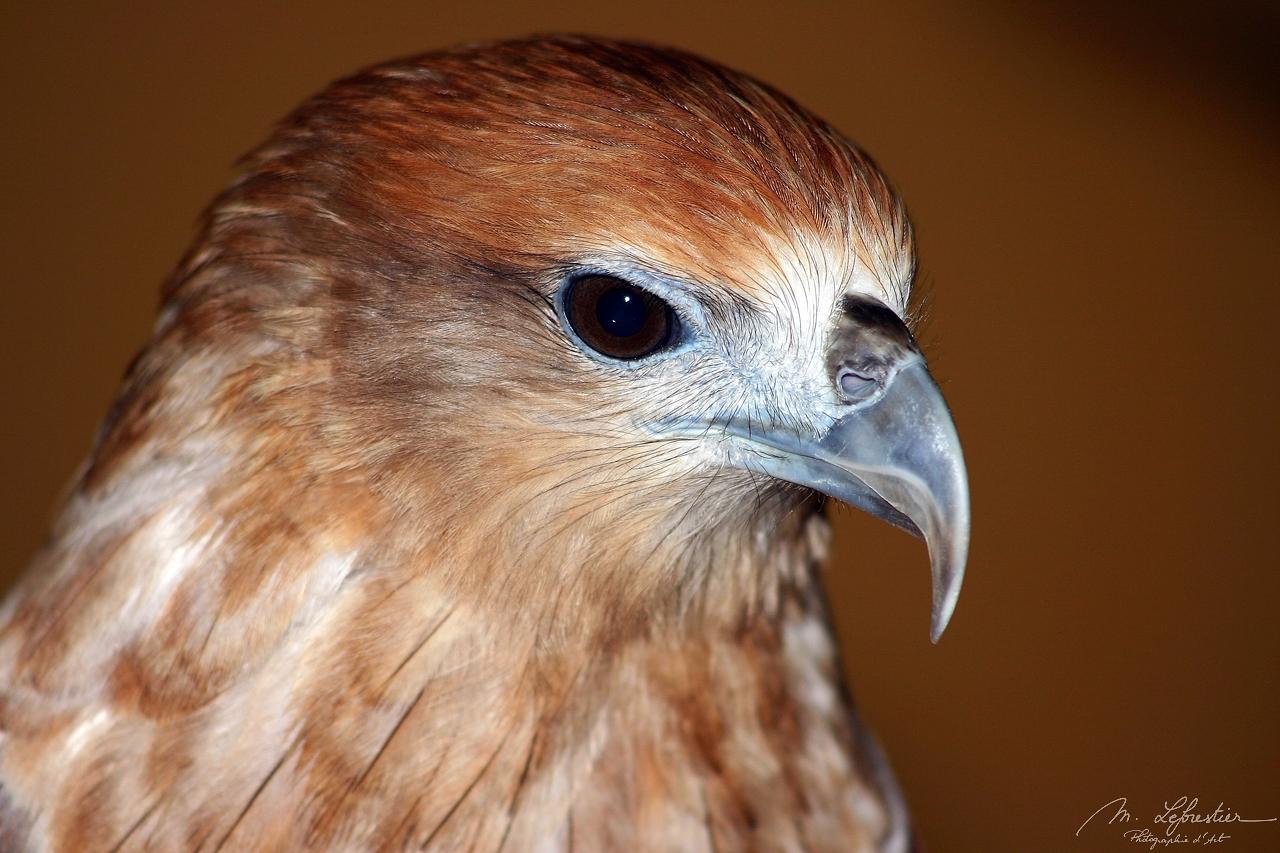 a hawk or a falcon in Langkawi wildlife park and bird paradise