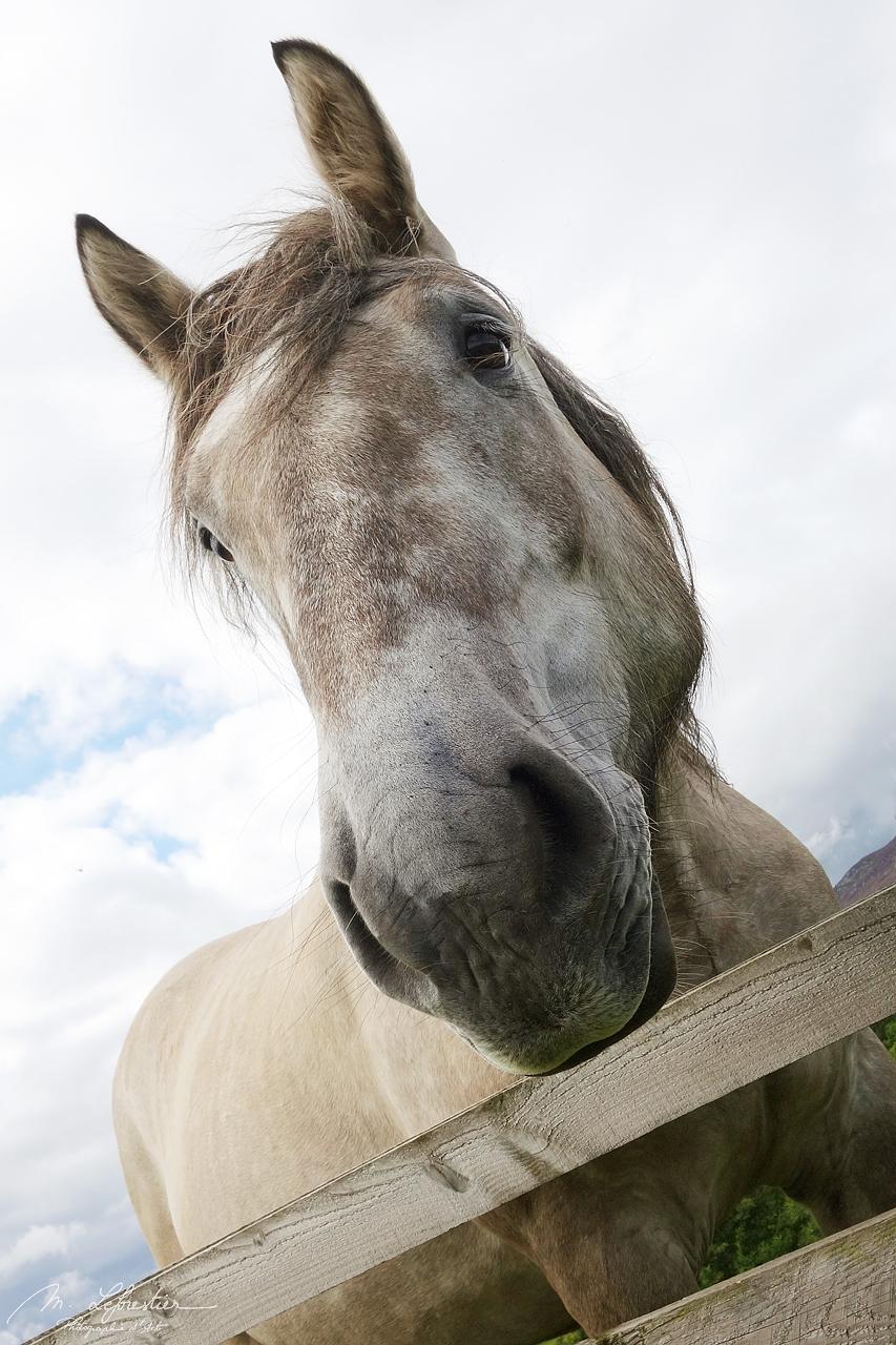 scottish highland white pony breed by the Ruthven Barracks in Scotland