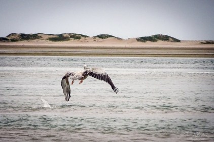 a pelican is flying off from the indian ocean by the Bazaruto archipelago island in Mozambique Africa