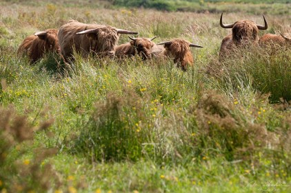 A cattle herd of Scottish wild cows running towards me I just had the time to click and get on the side! in Lentevreugd Netherlands
