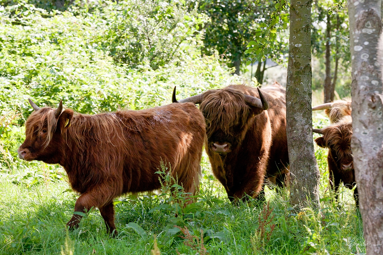 photo of three scottish highland cows cattle in a herd in Lenteveugd Dutch nature reserve by Wassenaar