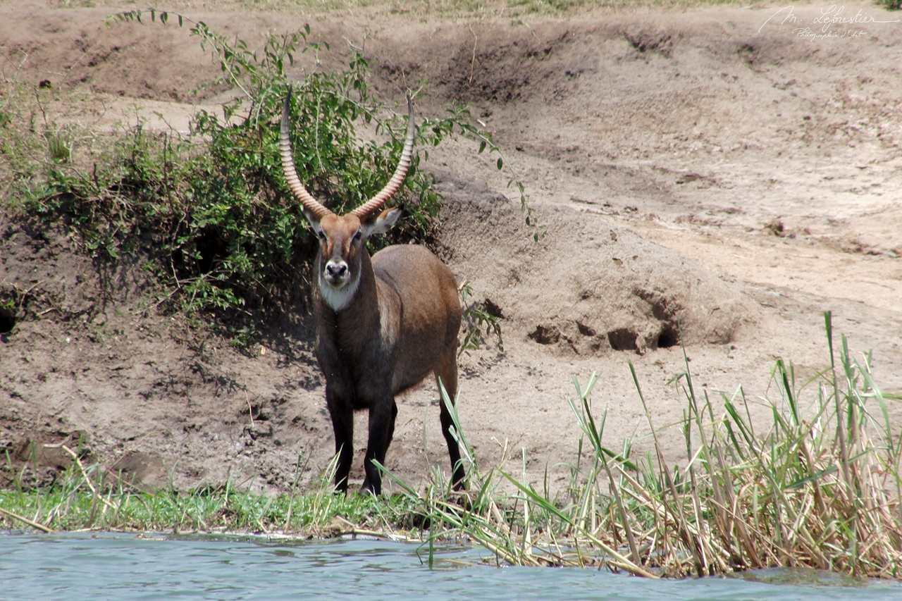 ugandan kob antelope from Uganda in the Queen Elizabeth national park Kazinga channel Africa
