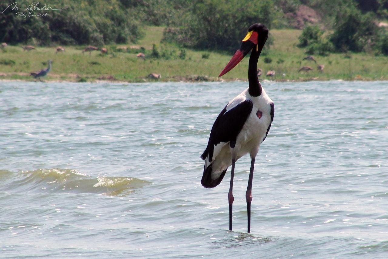 Yellow-billed stork Mycteria ibis bird in the Kazinga channel in the Queen Elizabeth National Park Uganda Africa