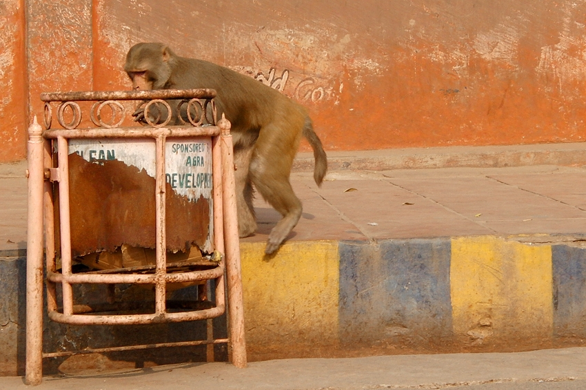 a monkey is checking out a street litter bin by the Agra Fort in Agra, India