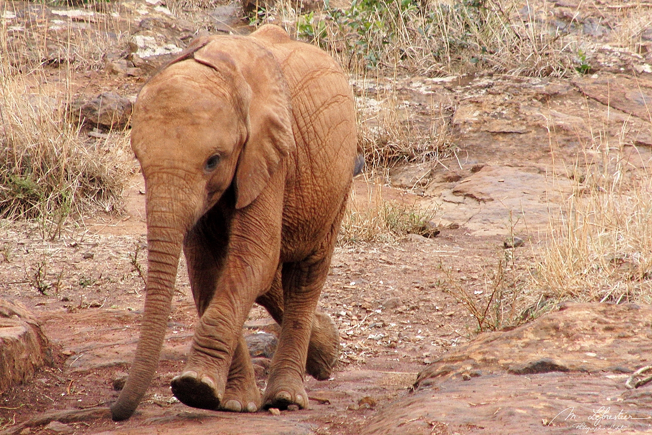 a baby elephant is walking to get to the mud area where he can play and drink at David Sheldrick wildlife trust center