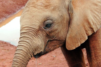 a close up of a rescued baby elephant at david sheldrick wildlife trust center in Nairobi Kenya