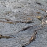 wild american crocodiles as seen from the main bridge over the river Tarcoles in the Puntarenas region in Costa Rica