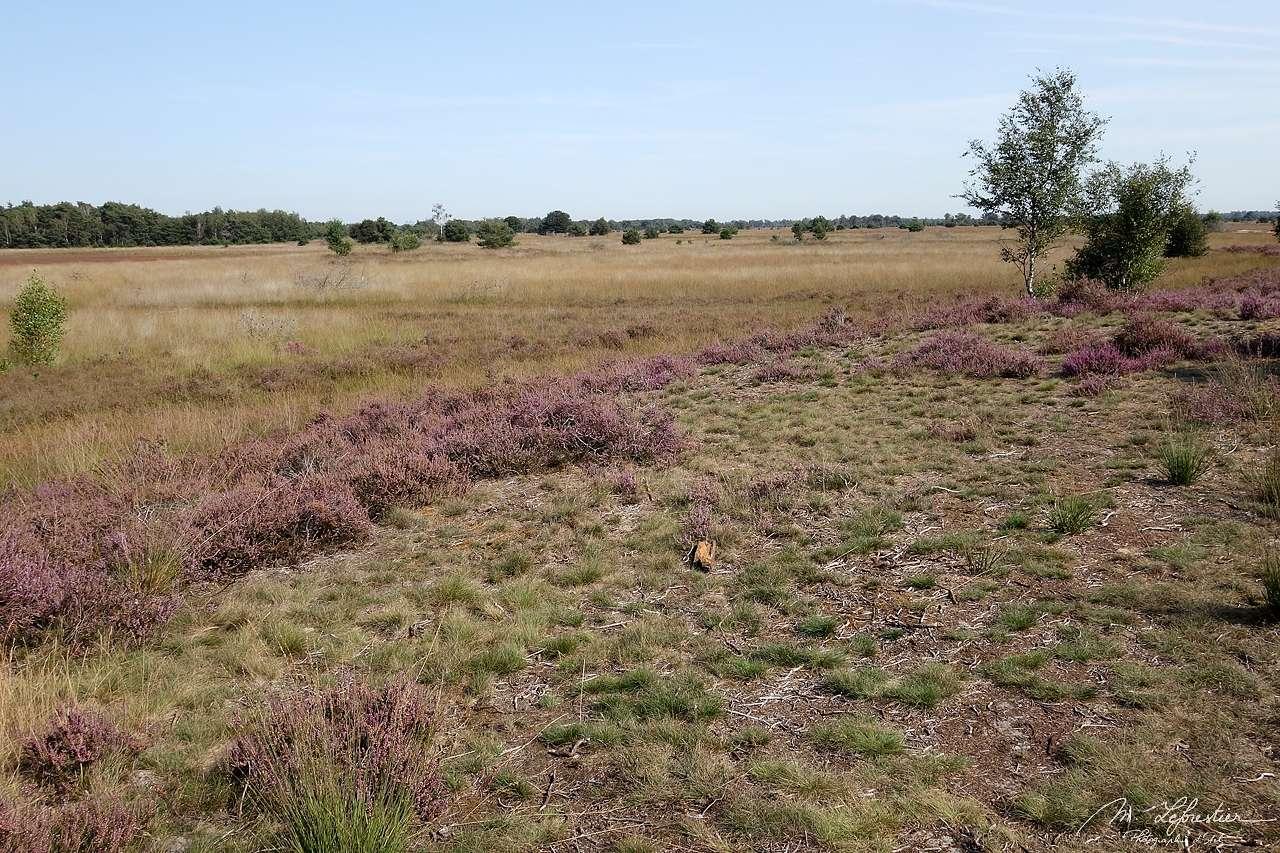 a heather field in the Strabrechtse Heide in Heeze / Geldrop , the Netherlands