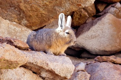 Viscacha in Bolivia