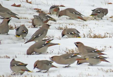Bohemian Waxwings need to consume more water (or snow) in the winter than in the summer. Their diet consists mostly of fruit - they can eat more than two times their weight in a day! In winter, fruits are less juicy and their high sugar content dehydrates the birds.