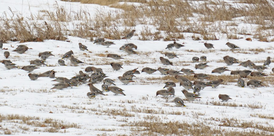 A whole bunch of them flew down to the grass to eat some snow.