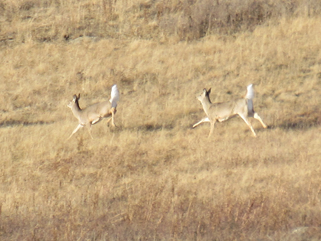 I've never seen them run in the open before. Only walk, sit, forage or quickly bolt out of sight. It is neat to see their body mechanics.