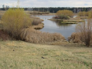 The pond viewed from the northeast. The little island is in line with the space between the cattails in the foreground. April 13th.