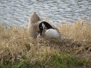 Gwyndolyn on her nest. April 13th.