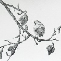 Draw A Golden-Crowned Kinglet Day