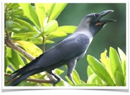 crow-intelligence-4