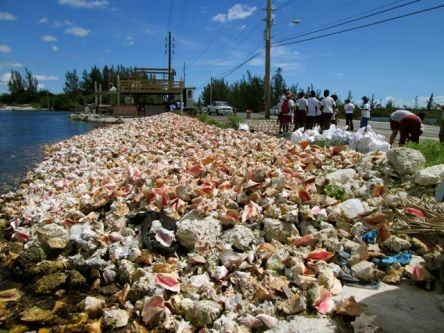 The conch shell pile we will survey.