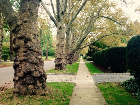 Battle Road sycamore trees