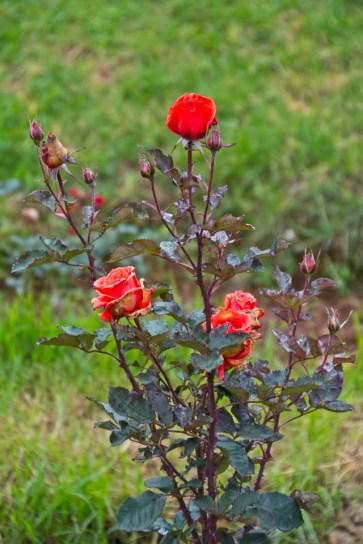 Roses in Rose garden Ooty