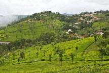 Tea gardens coonoor