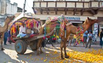 Pushkar camel fair camel cart