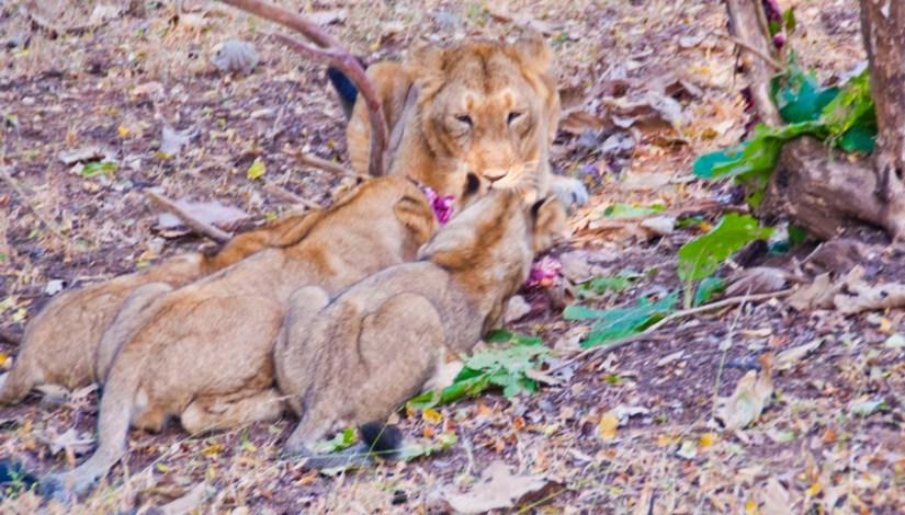 Lioness and Cubs in Gir national park