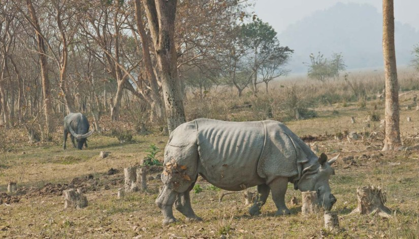 Rhino and Buffalo in Pobitora wildlife sanctuary