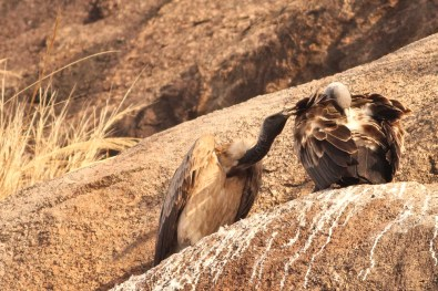 Courtship_of_Long-billed_Vultures