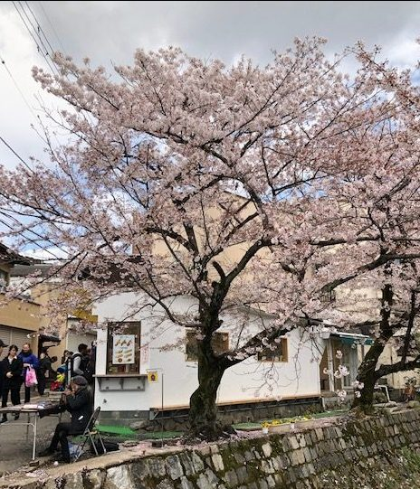 A Cherry Tree in Kyoto | #ThursdayTreeLove