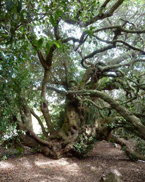 A 500-year-old Milkwood tree (Sideroxylon inerme) in Mossel Bay, South Africa.