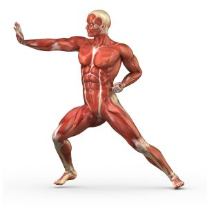 muscle anatomy joints