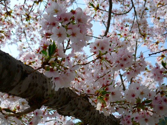 close up photo of a sakura tree branch