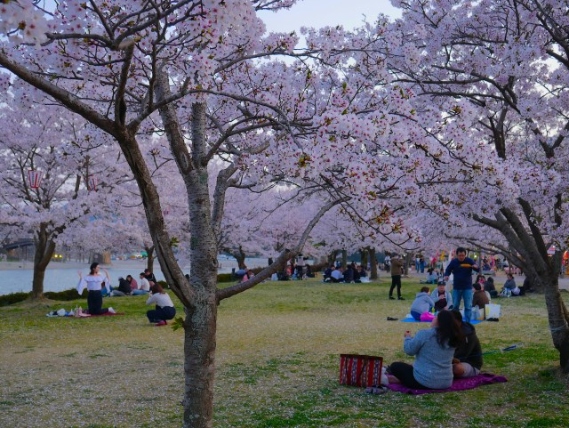 photo of people enjoying a picnic underneath cherry blossom trees