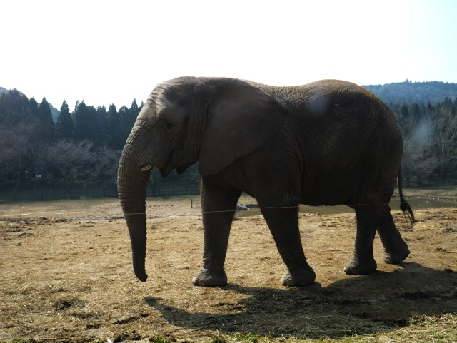 an adult elephant walking past a safari tour in the Japanese countryside