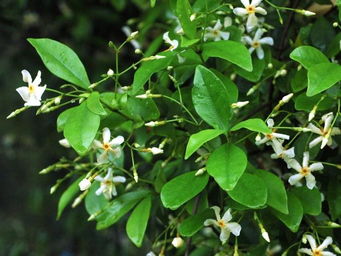 charasteristic of cenfedrate jasmine