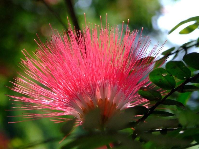 mimosa tree flower
