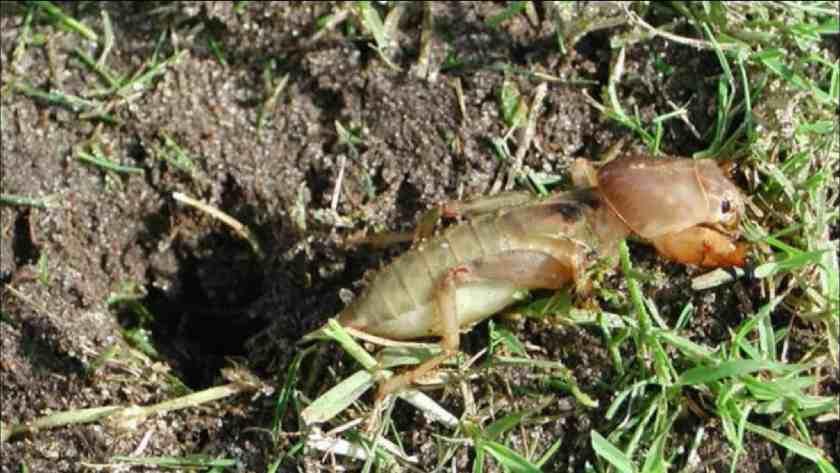 get rid mole cricket