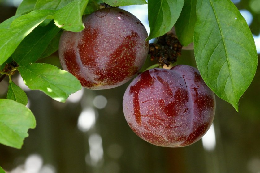 How to Grow and Care Pluots