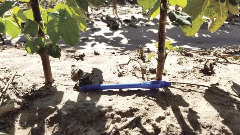 Cotton Plant Spacing