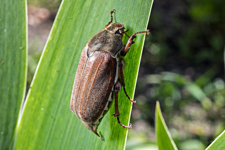What June Bugs Are Attracted to?
