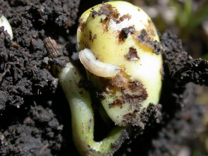 Seed Corn Maggots