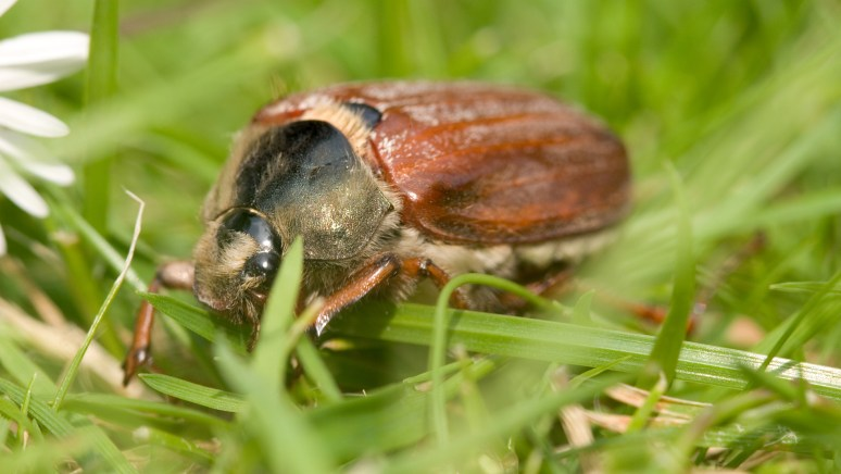 What Are June Bugs?